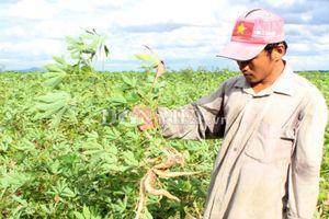 Đáng lo ngại: Dịch khảm lá mì lây lan ra 10 tỉnh thành