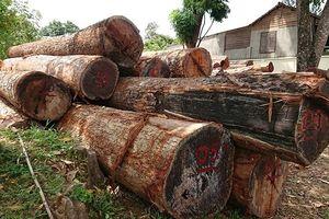 Bắt giam Hạt trưởng hạt kiểm tiếp tay cho trùm gỗ lậu Phượng 'râu'