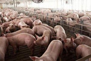 Giá heo hơi hôm nay 29/8: Giá lợn hơi ổn định, dự báo cuối năm ra sao?