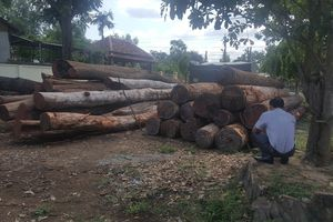 Khởi tố Hạt phó Hạt Kiểm lâm đóng búa kiểm lâm cho Phượng 'râu' vận chuyển gỗ