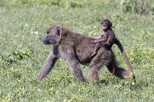Ấn tượng khỉ con cưỡi trên lưng mẹ như cưỡi ngựa