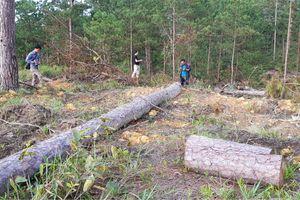 Hàng ngàn cây thông bị triệt hạ tại Phi Liêng