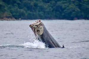 Cá voi con bị cụt đuôi đau đớn vì mắc lưới đánh cá