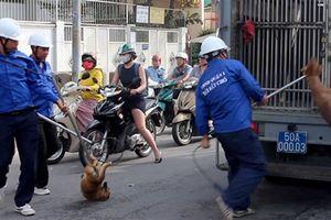 Bắt chó thả rông giữa Trung tâm TP.HCM: 'Chủ nhân biết ý'