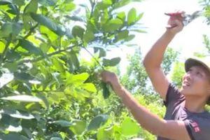 Trồng cây quả thơm 'điếc mũi', tốn ít công nhưng lại lãi lớn