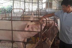 Liều mua thêm lợn khi giá lao dốc, giờ đâm ra lại trúng lớn