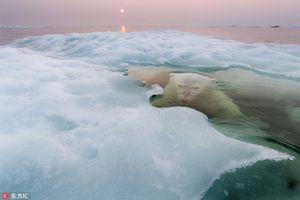 Ảnh độc đáo về đời sống của gấu trắng Bắc cực