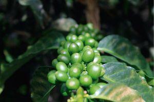 Giá cà phê hôm nay 30/8: Tăng nhẹ trở lại
