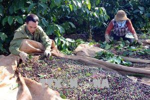 Hỗ trợ nông dân sản xuất cà phê bền vững