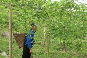 Nghệ An: Dân miền núi thoát nghèo nhờ quả da trơn, ruột vàng, hột đen