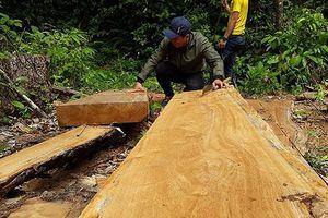 Kiểm tra vụ 'công ty trồng rừng cưa cây tự nhiên'