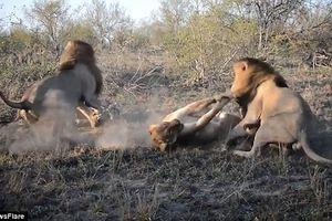 Khốc liệt sư tử đực hợp sức tấn công sư tử cái