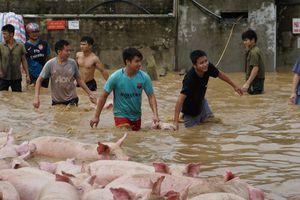 Nước lũ nhấn chìm trại lợn 1.100 con ở Thanh Hóa