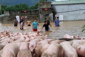 Video: Cứu hàng nghìn con lợn bì bõm trong cơn lũ