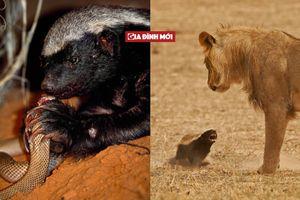 Loài vật nhỏ bé có khả năng kháng nọc rắn siêu độc, dám tấn công cả sư tử