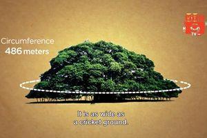 Cây đa 'khủng' ở Ấn Độ tạo bóng râm che cho 10.000 người