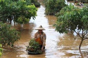 Sơn La: Xót xa chưa từng thấy, dìm mình trong nước lũ vớt trái cây