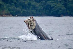Xót xa cá voi cụt đuôi lặn ngụp, vùng vẫy giữa đại dương