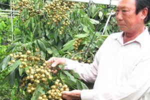 Sốt rần rần với giống nhãn lạ, cây thấp tè đã ra quả, ăn miễn phí