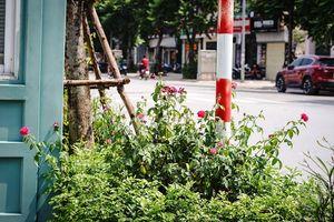 Chờ một ngày nắng lên hãy đến ngay con đường hoa hồng đẹp như trong phim ở Hà Nội chụp ảnh thật long lanh