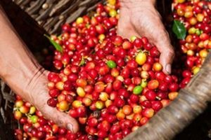 Giá cà phê hôm nay 3/9: Nông dân lao đao vì cà phê liên tiếp chạm đáy