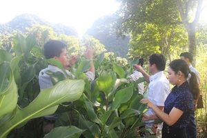Huyện Cẩm Thủy: Phát triển nghề làm miến dong