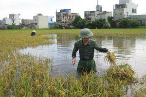Nam Định: Lúa vụ Mùa đối mặt bệnh lùn sọc đen hoành hành