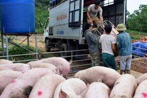 Giá heo hơi hôm nay 4/9: Giá lợn hơi miền Bắc tăng tới 2.000 đồng/kg
