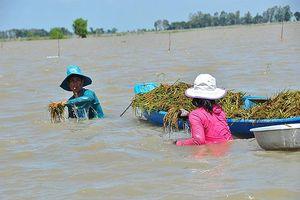 Hàng chục nghìn hécta lúa ở ÐBSCL bị đe dọa do lũ và xả đập