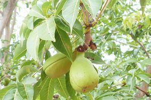 Ninh Thuận: Loài quả lạ ở Tháp Chàm Po Klong Garai