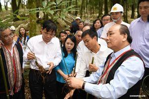 Thủ tướng: Sâm Ngọc Linh là quốc bảo của Việt Nam