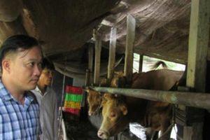 Độc đáo: Xóm triệu phú nuôi bò 'Tây' to xác ở An Giang