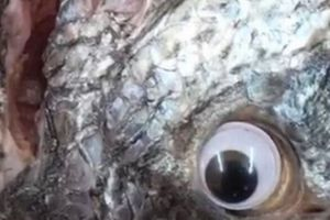Gắn mắt giả cho cá để trông tươi hơn