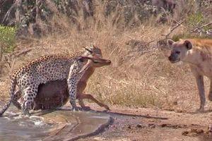 Tranh mồi với báo hoa, linh cẩu bất lực nhìn linh dương châu Phi trốn thoát