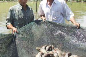 Bao bờ, quây lưới nuôi cá ruộng mùa nước nổi ở miền Tây