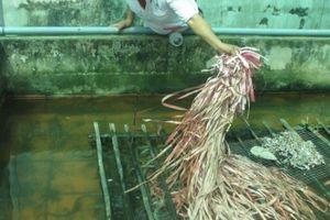 An Giang: Nuôi lươn không bùn bằng ốc bươu vàng, lời 60 triệu/lứa