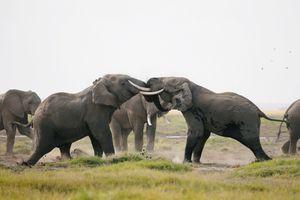Phát hiện 87 con voi chết tại Botswana