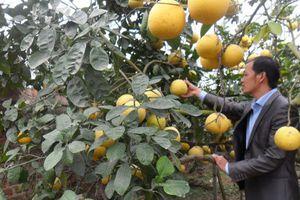 Khám phá 'đệ nhất bưởi' vàng ươm, thơm nức mũi ở Hà Nội