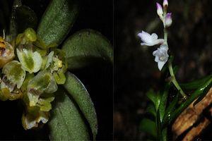 Phát hiện 2 loài Lan mới tuyệt đẹp ở Việt Nam