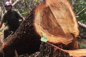 Phát hiện nhiều sai phạm trong vụ tận thu gỗ ở Đắk Lắk