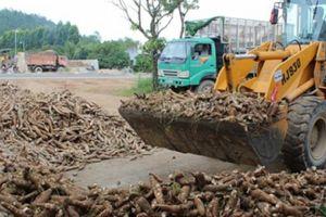 Bệnh khảm lá vẫn lan nhanh, nguy cơ xuất khẩu sắn khó đạt 2 tỷ USD