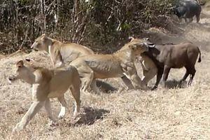 6 con sư tử cái hung dữ, lao tới hạ gục trâu trong tích tắc