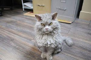 Những chú mèo có gương mặt 'biểu cảm' nhất thế giới