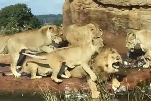 Cận cảnh 9 sư tử cái hung dữ xâu xé con đực đơn độc