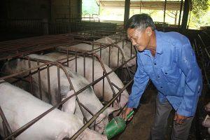 Giá heo hơi hôm nay (7/9): Miền Nam có nơi tăng 2.000 đồng/kg