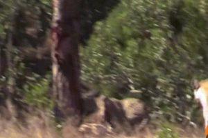 Báo ngoạm cổ linh dương, bị linh cẩu phát hiện và diễn biến khó tin