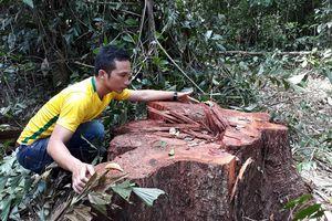 Phát hiện 14 cây cổ thụ bị 'xẻ thịt' gần trạm kiểm soát cửa rừng