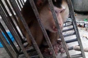 Huế: Giải cứu khỉ đuôi lợn quý hiếm bị rao bán qua mạng