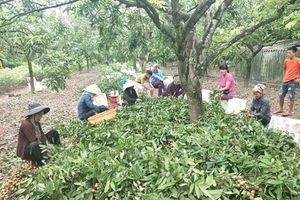 Hưng Yên: Thương lái đổ xô về mua đặc sản nhãn lồng cuối vụ