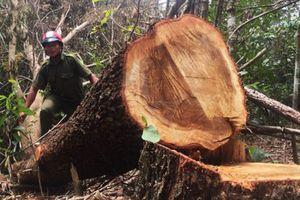 Phát hiện nhiều sai phạm trong vụ tận thu gỗ